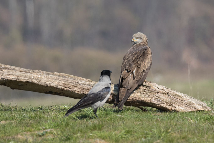 Schwarzmilan mit Nebelkrähe