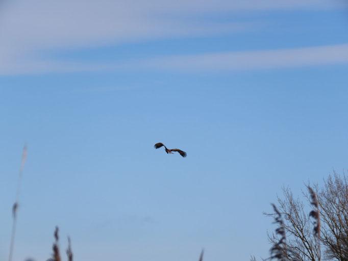 Abfliegender immaturer Seeadler am Krienker See (Foto: NABU Insel Usedom / Bernd Schirmeister)