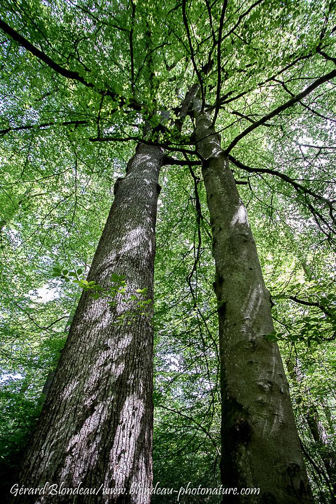 Arbres frotteurs Chêne pedonculé (Quercus pedonculata) et Hetre (Fagus sylvatica)