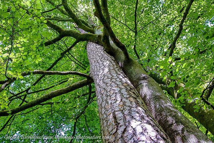 Arbres frotteurs Pin sylvestre (Pinus sylvestris) et Hetre (Fagus sylvatica)