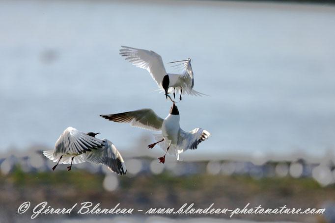 Mouettes rieuses volant le poisson d'une sterne caugek