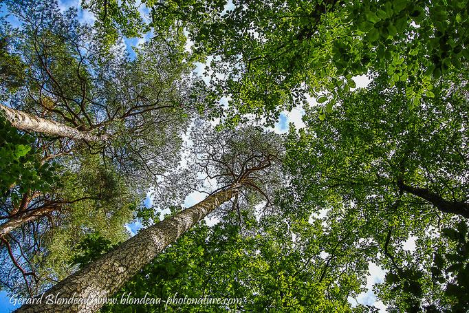 Arbres forêt de Hanau