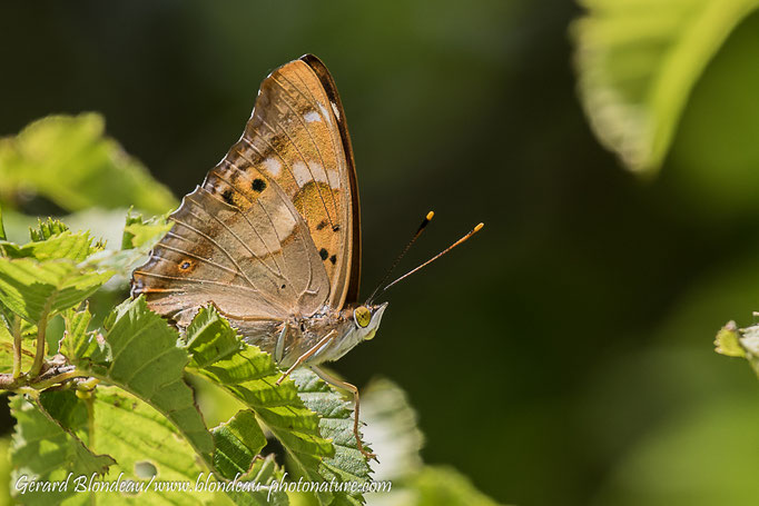 Petit mars changeant (Apatura ilia)
