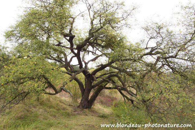 Bois de Sainte Lucie (Prunus mahaleb) arbre remarquable du Val d'Oise