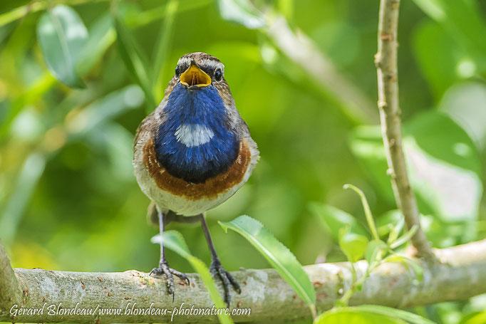 Gorge bleue à miroir (Luscinia svecica)