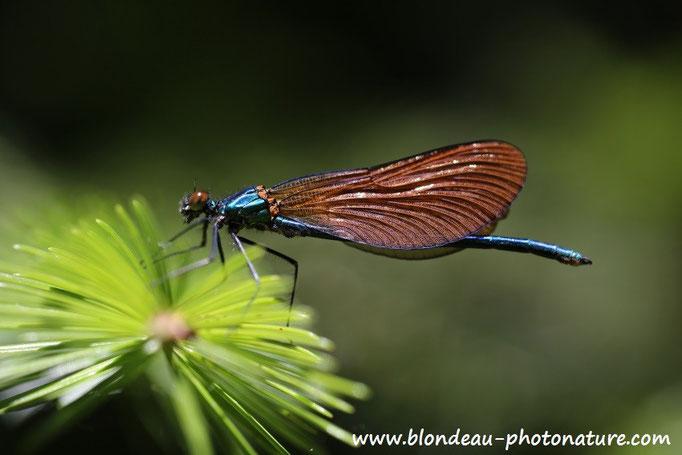 Callopteryx virgo