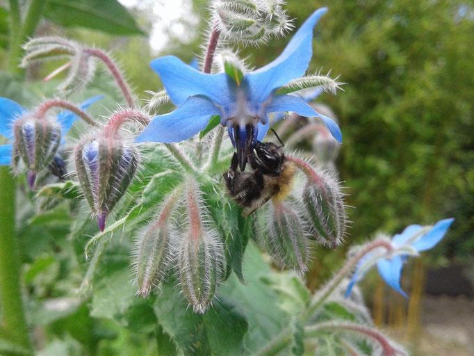 Borretschblüte mit Wildbiene