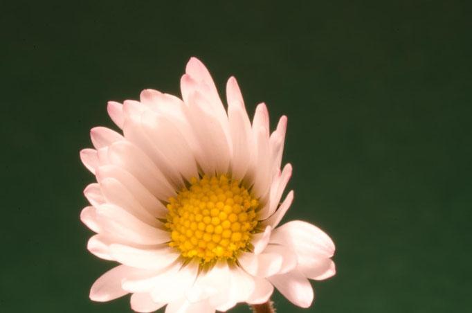 Blumen Maria Schlömicher Energetikerin in Niederösterreich