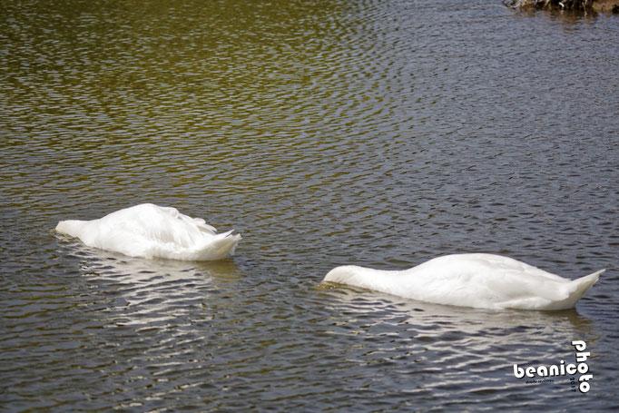 Cygnes la tête dans l'eau - Marais de l'Eguille - Ile d'Oléron - Béanico-Photo