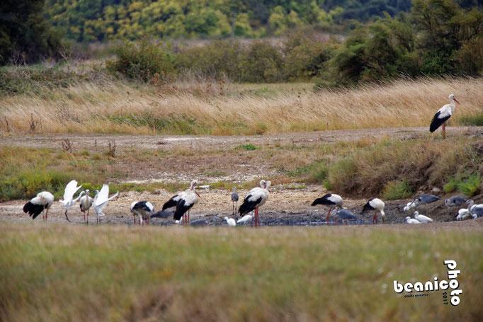 Cigognes, Aigrette-Garzettes, HéronsCendrés Oiseaux dans un arbre - Ile d'Oléron - Béanico-Photo