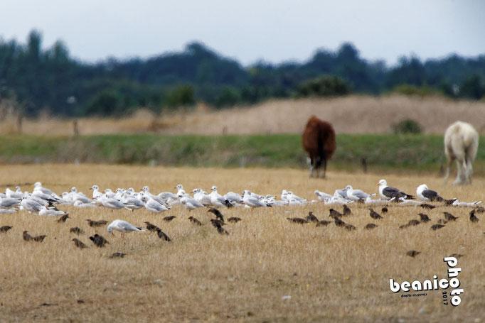 Mouettes, Corbeaux, Etourneaux dans un champs Oiseaux dans un arbre - Ile d'Oléron - Béanico-Photo