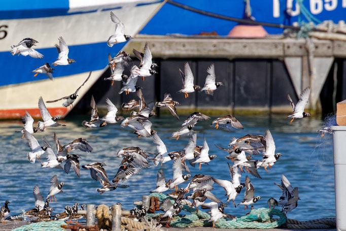 Tourne-Pierre - Port de la Cotinière - Ile d'Oléron - Béanico-Photo