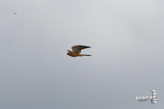 Faucon Crécerelle en vol - Marais de l'Eguille - Ile d'Oléron - Béanico-Photo