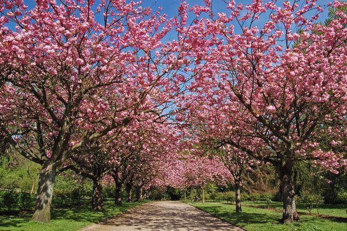 Botanischer Garten Rombergpark, Dortmund - Stoffregenallee (jap. Kirschblüte)