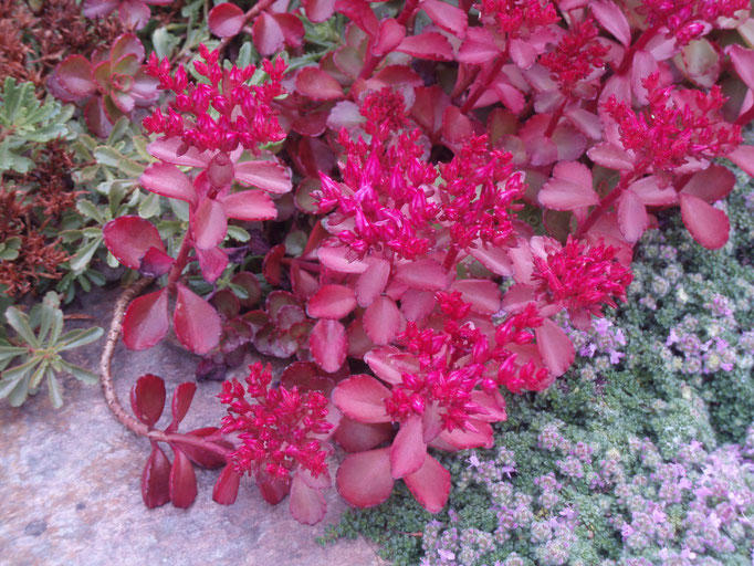 "Sedum spurium ""Ruby Mantle"""
