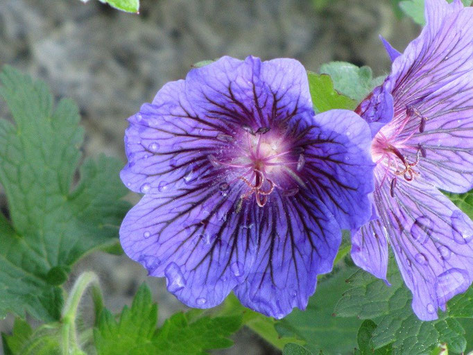 Geranium magnificum 'Platypetalum'