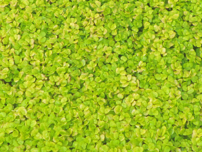 Helxine soleirolia dorée