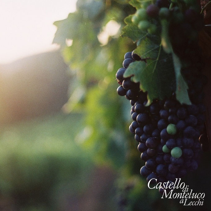 Grappoli all'alba • Grapes at sunrise