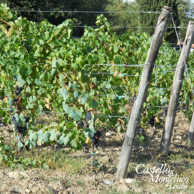 Filari • VVineyards files
