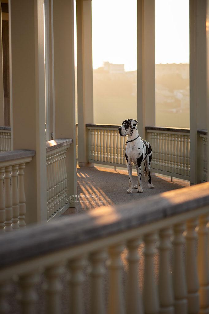 Dogge bei städtischem Sonnenaufgangsshooting