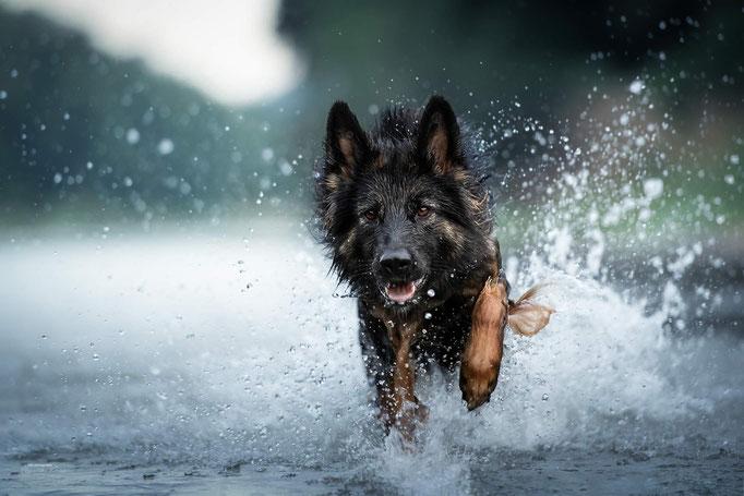 Wassershooting mit Schäferhund