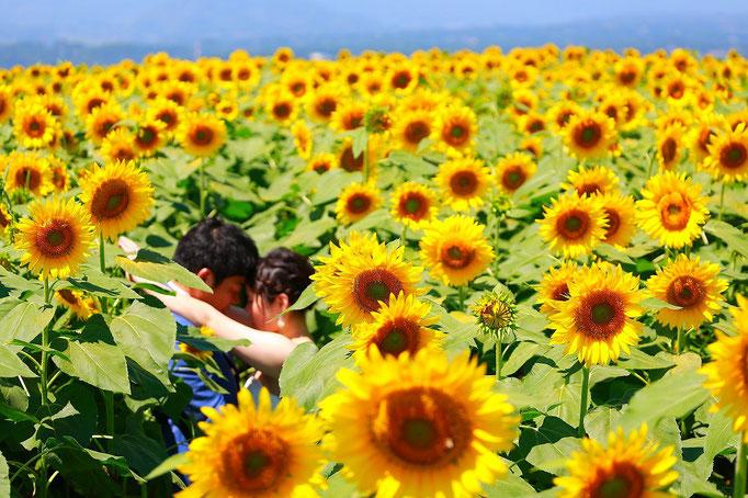 ひまわりウェディング前撮り撮影ひまわり畑の真ん中で抱き合う新郎新婦