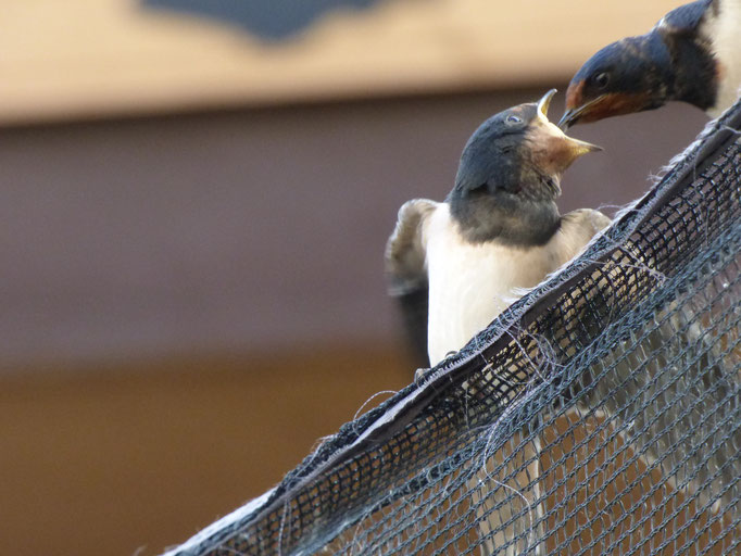 Rauchschwalben - Foto: Miriam Wagner