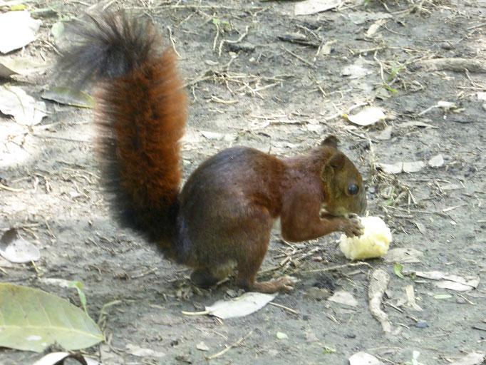 Bild: Ein flinkes Eichhörnchen