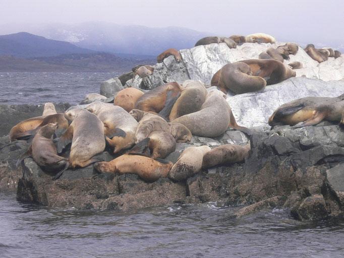 Bild: Seelöwen