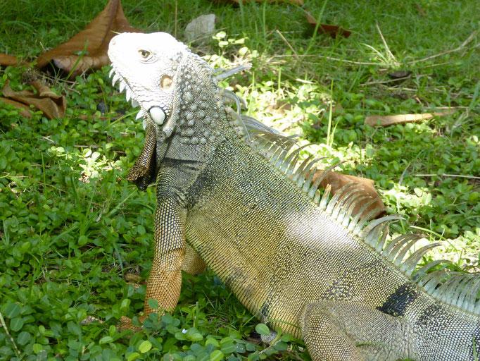 Bild: Leguan im Park von Cartagena