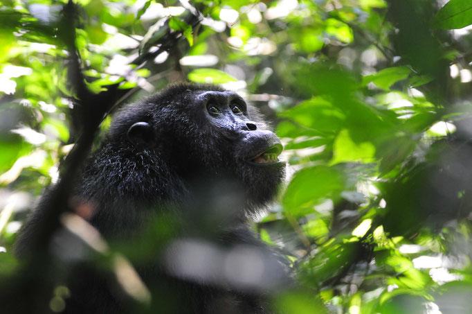 Chimp - Kibale National Forest