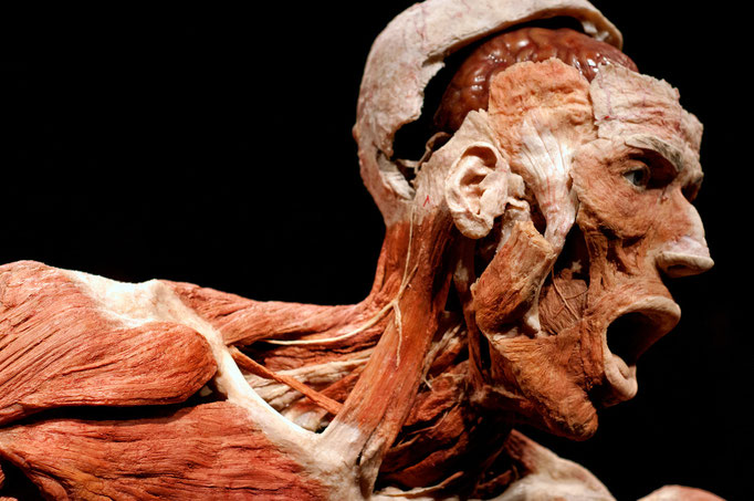 Gunther Von Hagens' BODY WORLDS The original exhibition of real human bodies