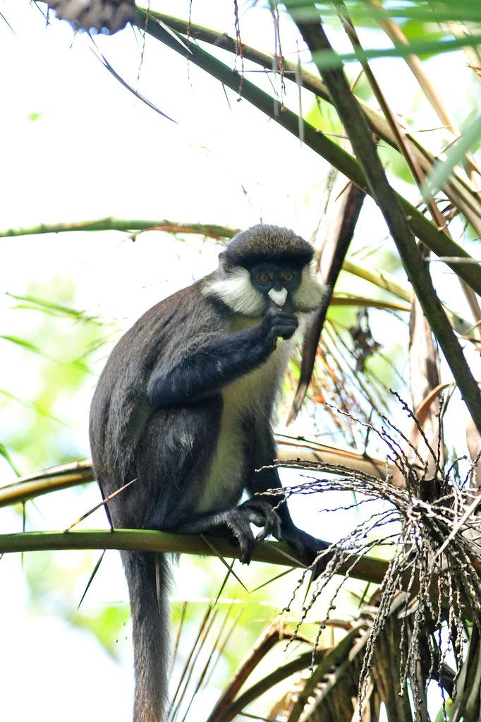 L'Hoest's Monkey - Bigodi Wetland Sanctuary - Kibale National Forest
