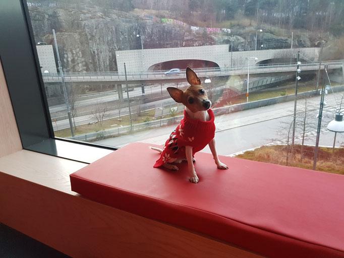 Той-фокстерьер Terra Baltika Saint Valentin