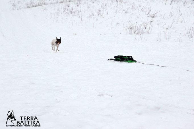 """Той-фокстерьеры питомника """"Terra Baltika"""" на зимней тренировке по курсингу"""