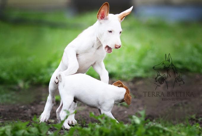 поденко ибиценко, ибицкая борзая, podenco ibicenco, ibizan hound, щенки поденко, питомник поденко ибиценко
