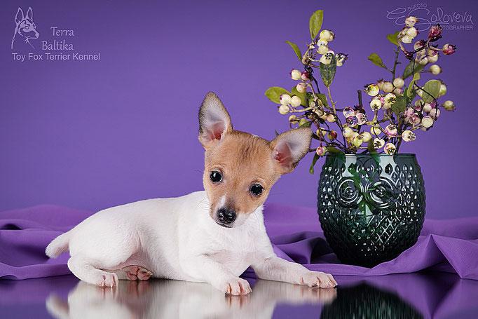 #тойфокстерьер #амертой #террабалтика #toyfoxterrier #terrabaltika #puppies #kennel