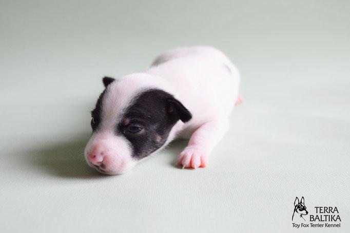 #тойфокстерьер #амертой #террабалтика #toyfoxterrier #terrabaltika #puppies #kennel#тойфокстерьер #амертой #террабалтика #toyfoxterrier #terrabaltika #puppies #kennel