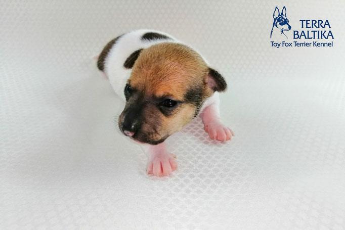 #тойфокстерьер #амертой #террабалтика #toyfoxterrier #terrabaltika #puppies #kennel #маленькаясобака #минипорода #маленькаяпородасобак #собачканамаленькихножках #американскийтойфокстерьер #тойфокс #americantoyfoxterrier