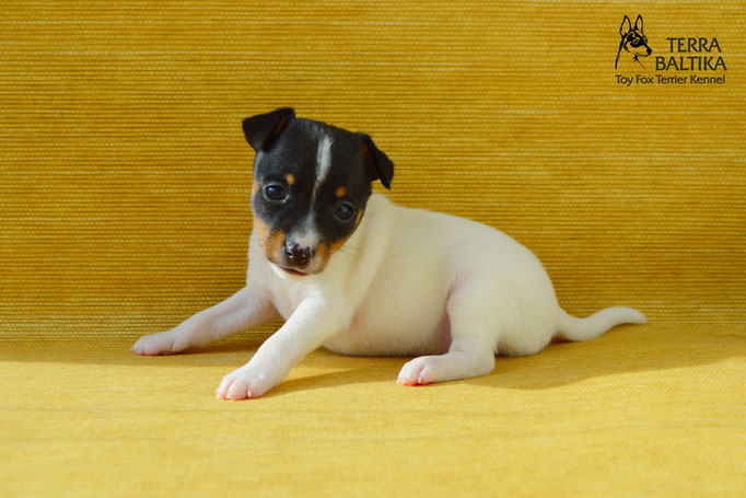 #тойфокстерьер #амертой #террабалтика #toyfoxterrier #terrabaltika #puppies #kennel #поденкоибиценко #ибицкаяборзая #podencoibicenco #ibizanhound #борзаясибицы #поденко