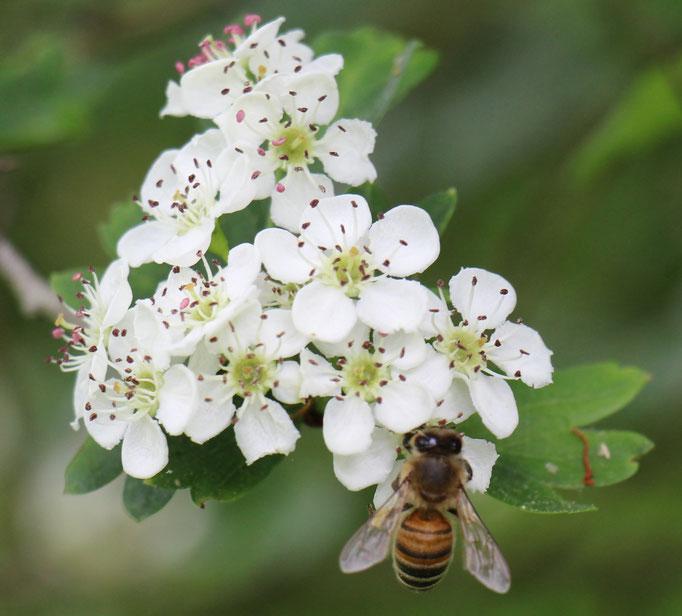 Plante Mellifère - Aubépine - Miel de fleurs sauvages