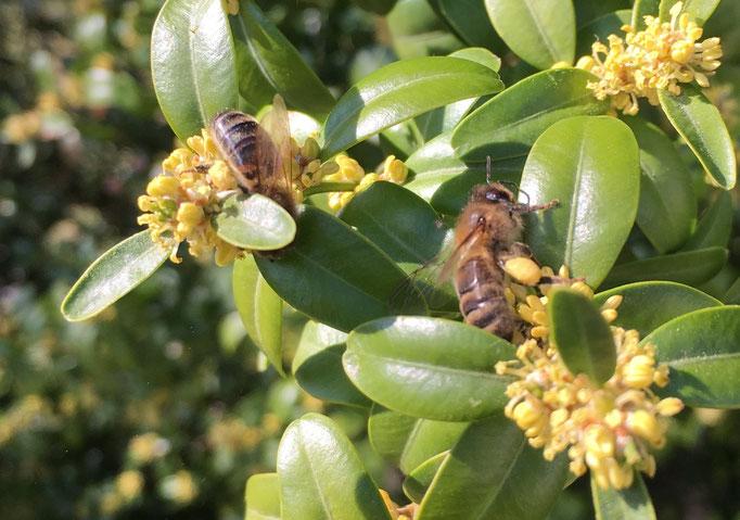 Plante Mellifère - Buis - Pollen