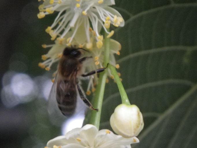 Plante Mellifère - Tilleul - Miel de Tilleul