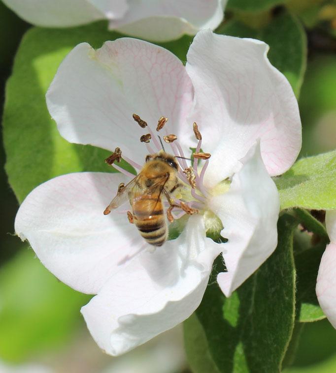 Plante Mellifère - Cognassier - Miel de fruitiers