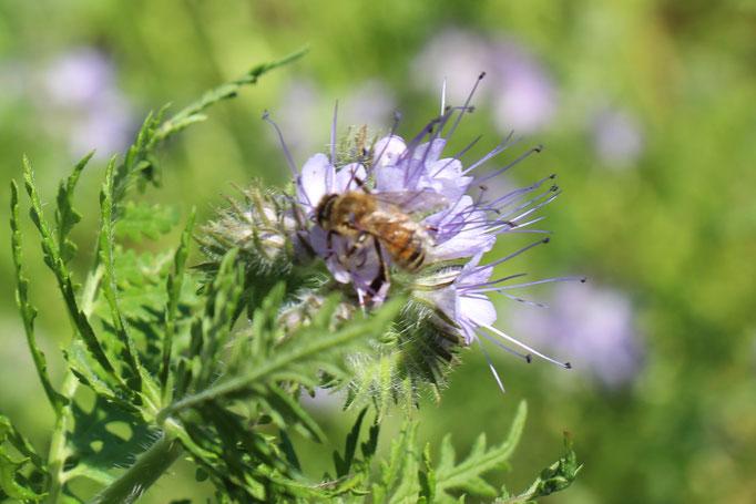 Plante Mellifère - Phacélie - Miel de fleurs sauvages
