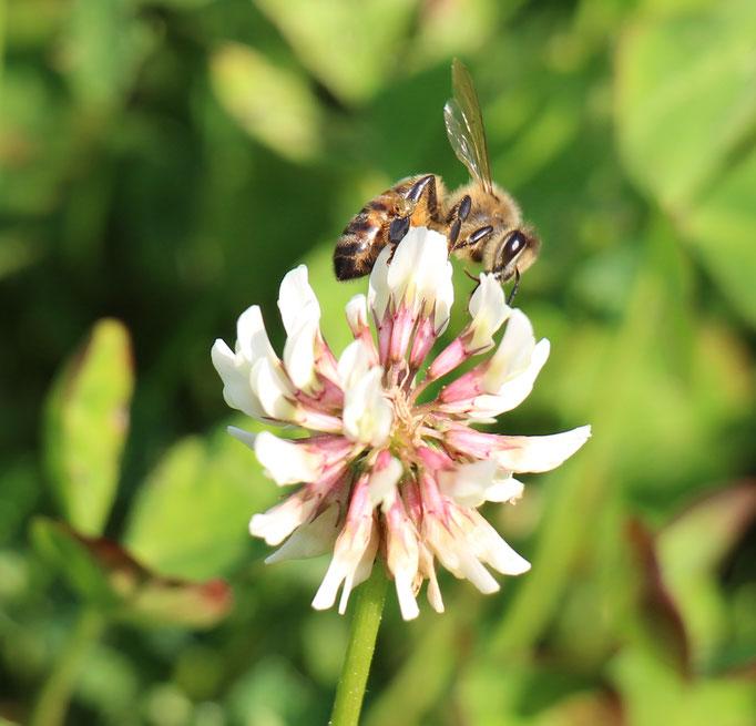 Plante Mellifère - Trèfle blanc - Miel de fleurs sauvages