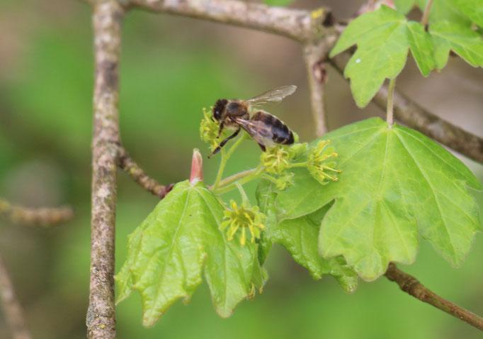 Plante Mellifère - Erable champètre - Miel de fleurs sauvages