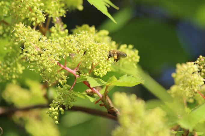 Plante mellifère - Vigne