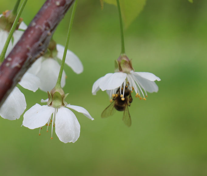 Plante Mellifère - Cerisier - Miel de fruitier