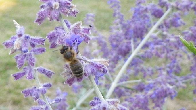 Plante Mellifère - Pevrovskia - Miel de fleurs sauvages